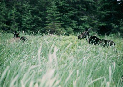 moose-grass-750