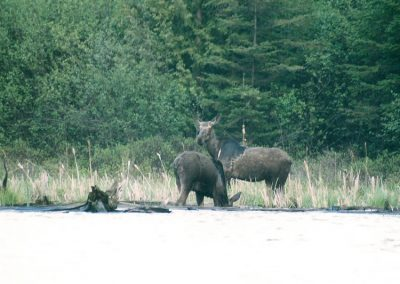 moose-shore-750